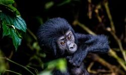 Uganda og Rwanda - safari, chimpanser og gorillaer
